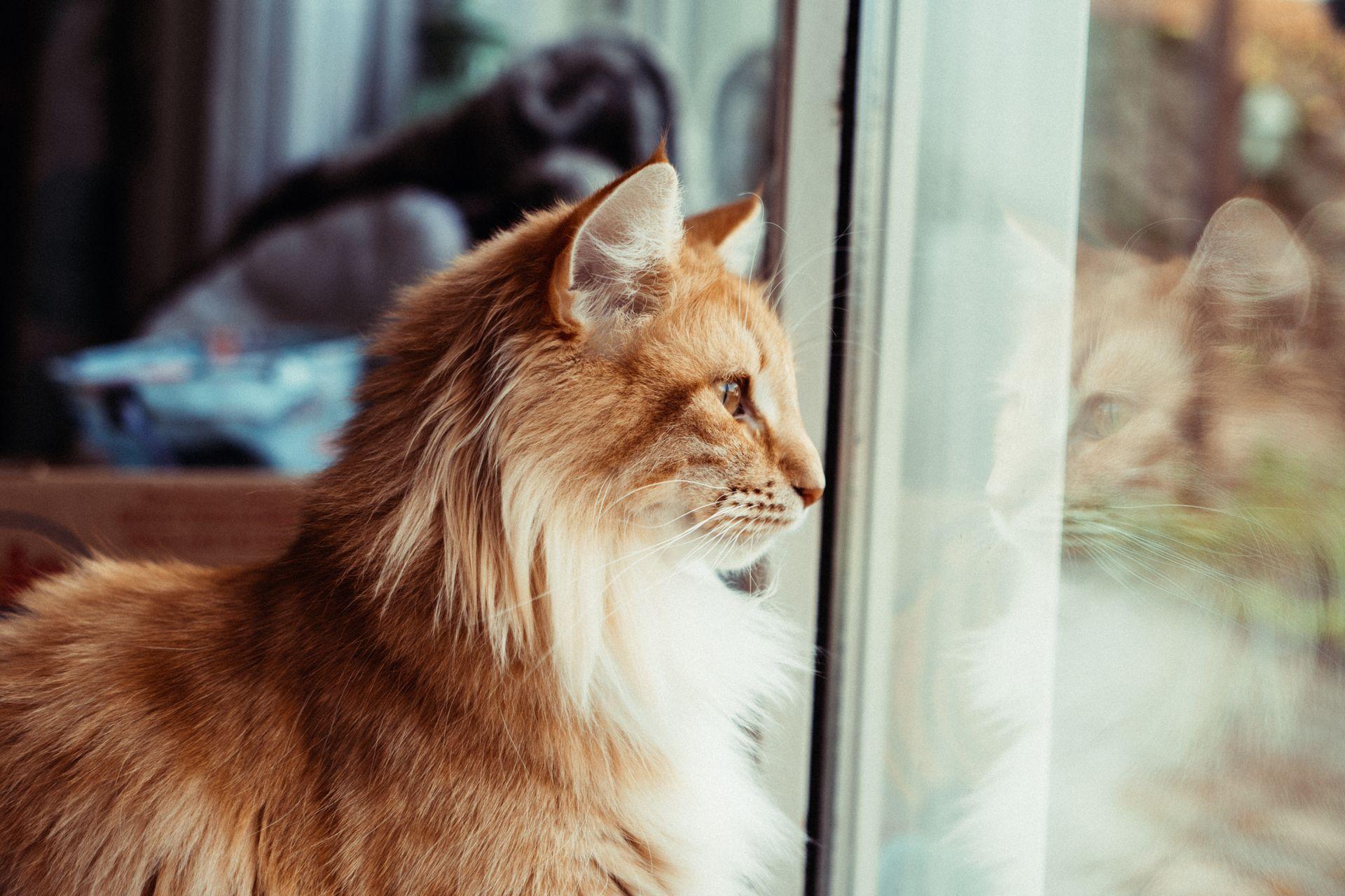 Die Norwegische Waldkatze